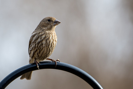 A female house finch perches on a metal rod.