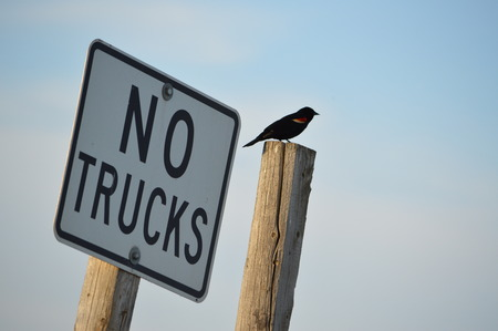 A red wing blackbird sits next to a sign.