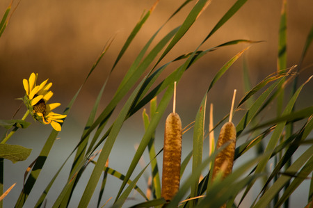 A group of cat tails and wild sunflowers in the country.
