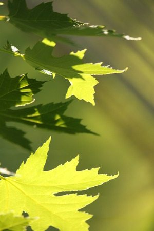 back lighting: A group of maple leaves with some nice back lighting.