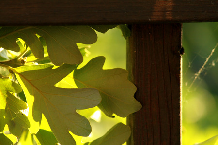 back lighting: A group of oak leaves with some nice back lighting.