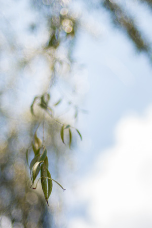 A dangling willow branch with a nice bokeh background.