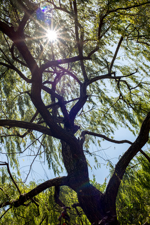 A weeping willow tree. photo