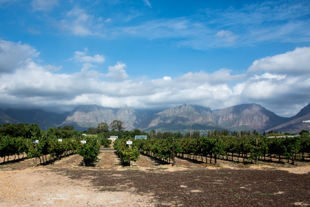 wine stocks: A beautiful landscape located in Cape Town, South Africa.