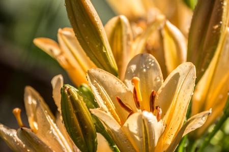 yelow: Yelow Lilies