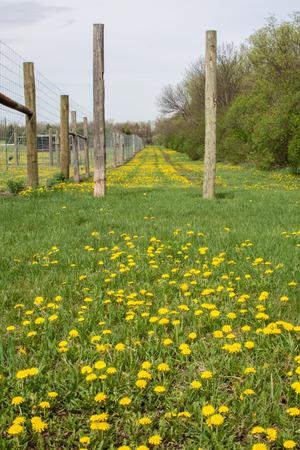 dandelion field: Dandelion Field Stock Photo