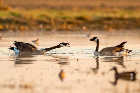 hiss: Fighting Geese Stock Photo