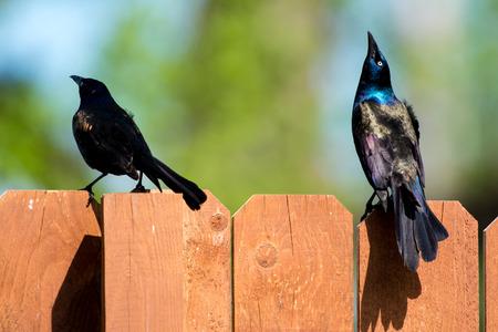 disagreement: Blackbird Disagreement