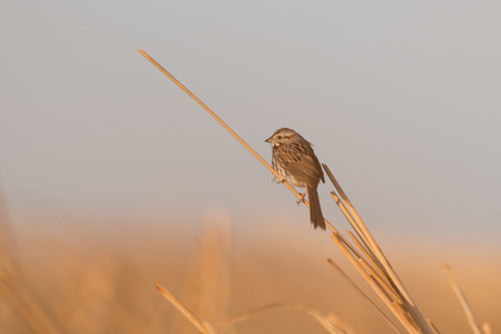 Early Morning Sparrow