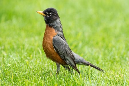 robin: Spring Robin