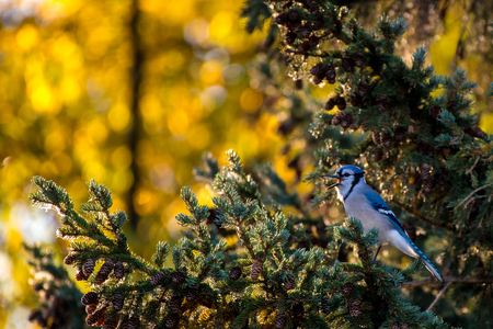 squawk: A blue jay cries on an early Autumn morning.