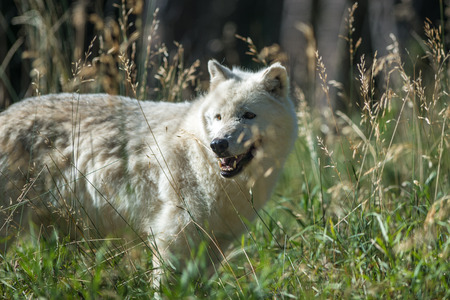 k9: A white wolf in the early morning sun. Stock Photo