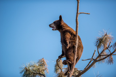 A young bear high in a tree.