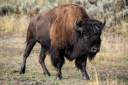 A large bison on the prairie.