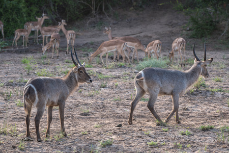 A pair of male waterbucks surrounded by impalas in Kruger National Park, South Africa.