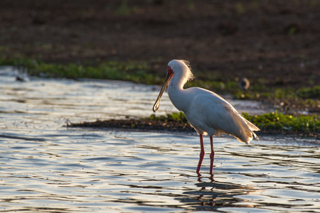 An african spoonbill stork looking pretty in some nice sunset light in Kruger National Park, South Africa.