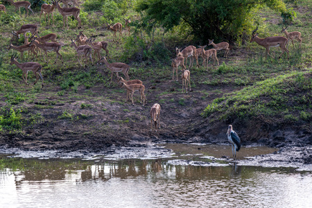 A group of an impala and maribou stork visiting a waterhole in Kruger National Park, South Africa.
