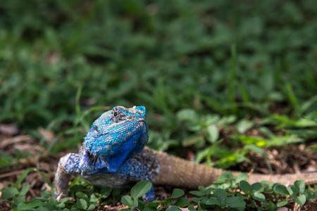 A beautiful blue headed lizard relaxing in some cool vegetation. Stock fotó
