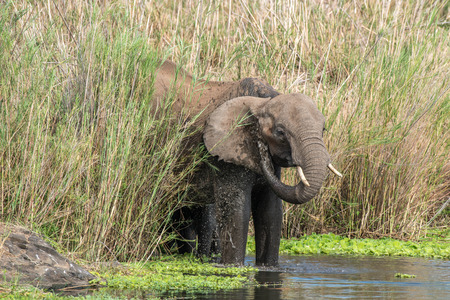 full length herbivore: An elephant gives itself a shower in a river in Kruger National Park, South Africa.