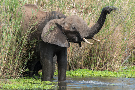 full length herbivore: An elphant gives itself a shower in the river in Kruger National Park, South Africa. Stock Photo