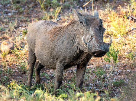 full length herbivore: A single warthog looking rather dry after a mud bath has cracked in the african sun. Stock Photo