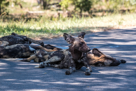 A group of wild dogs resting in the shade in Kruger National Park, South Africa.