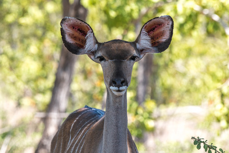 A female kudu gives the camera a direct stare in Kruger National Park, South Africa. Stock fotó