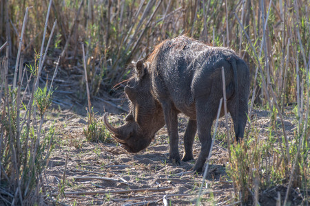 A warthog grazes in a very draught stricken time in Kruger National Park, South Africa.