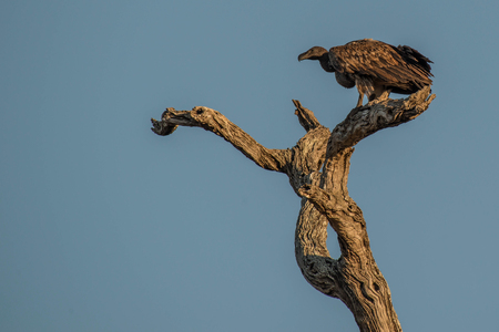 A vulture enjoys some sunset rays in Kruger National Park, South Africa.