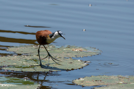 An african jacana walks upon the lily pads in Kruger National Park, South Africa.