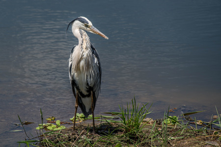 A grey heron stands by the waterside in Kruger National Park, South Africa. Stock fotó