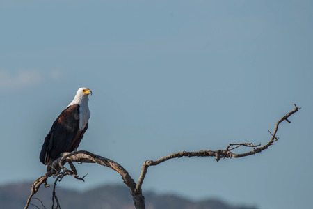 A regal african fish eagle basking in the setting sun in Kruger National Park, South Africa.