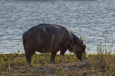 A hippo grazes on the shorline in Kruger National Park, South Africa.
