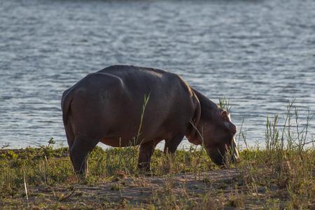 full length herbivore: A hippo grazes on the shorline in Kruger National Park, South Africa.