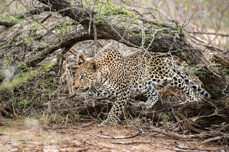 prowl: A beautiful leopard on the prowl in Kruger National Park, South Africa. Stock Photo