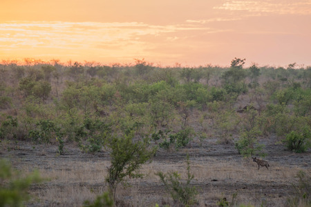 A hyena standing out in the african bush during a beautiful sunset in Kruger National Park, South Africa.