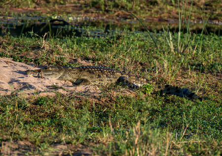 A crocodile rests in the sunlight in Kruger National Park, South Africa.