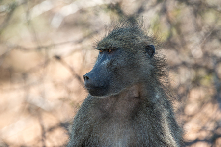 An intense stare of a male chacma baboon in Kruger National Park, South Africa. Stock fotó