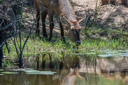 A waterbuck drinks water from a pond in Kruger National Park, South Africa. Stock fotó