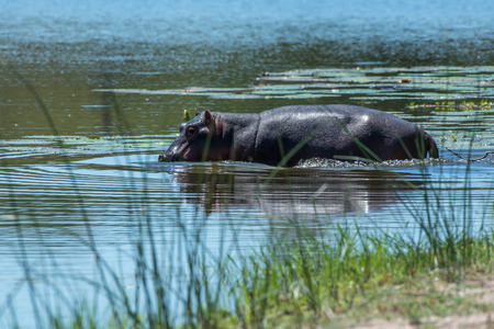 full length herbivore: A hippo wades into the water in Kruger National Park, South Africa.