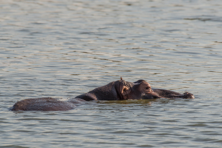 full length herbivore: A large hippo relaxes in the water in Kruger National Park, South Africa. Stock Photo