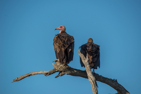 bird eating raptors: A pair of vultures relaxing in the setting sun in Kruger National Park, South Africa.