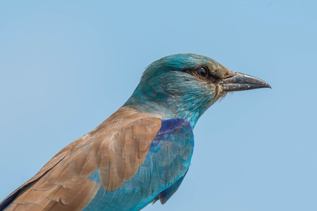 A beautifully colored european roller profile in Kruger National Park, South Africa. Stock fotó
