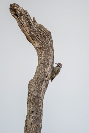 A bearded woodpecker searches for food in Kruger National Park, South Africa.