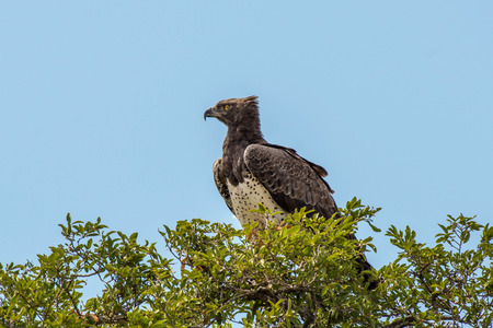 A large and regal martial eagle in the treetop in Kruger National Park, South Africa. Stock fotó