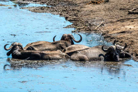 A group of cape buffalo trying to cool off in the mud in Kruger National Park, South Africa.
