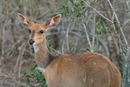 A female bushbuck looks towards the camera in Kruger National Park, South Africa.
