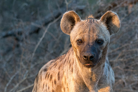 A cute looking hyena looks towards the camera in beautiful lighting in Kruger National Park, South Africa.