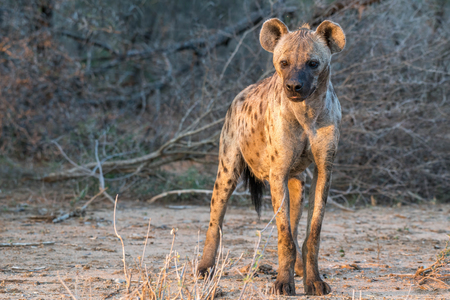 side lighting: A nice looking hyena looks off to the side in some nice lighting in Kruger National Park, South Africa. Stock Photo