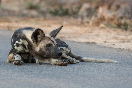 A wild dog relaxes on the pavement in Kruger National Park, South Africa. Stock fotó